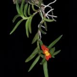Fernadezia maculata