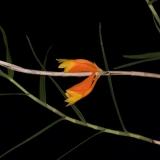 Dendrobium sp. Nová Guinea