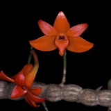 Dendrobium jacobsonii