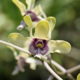 Dendrobium violaceoflavens