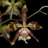 Odontoglossum luteopurpureum