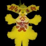 Oncidium crista-galli