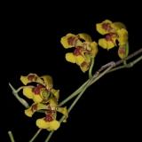 Oncidium gutfreundianum