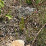 Paphiopedilum wilhelminae