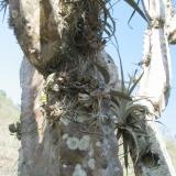 Oncidium onustum (Zelenkoa) na kaktusu