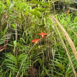 Phragmipedium besseae na stanovišti Ekvádor