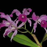 Cattleya lawrenceana
