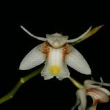 Coelogyne sp. Thajsko