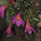 Dendrobium cuthbertsonii_7