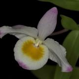 Dendrobium findlayanum_2