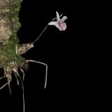 Dendrobium garrettii
