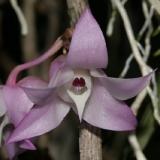 Dendrobium linguella