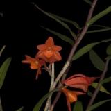Dendrobium melinanthum