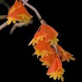 Dendrobium obtusisepalum