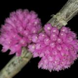 Dendrobium purpureum_2
