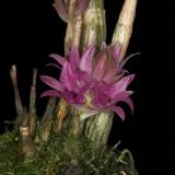 Dendrobium tannii