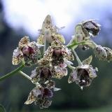 Dendrobium tapiniense