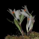 Dendrobium vexillarius_2