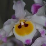 Dendrobium wardianum_3