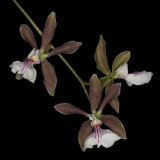 Encyclia pyriformis