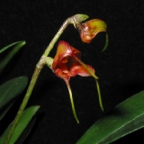 Masdevallia dimorphotricha
