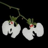 Oeonia rosea_3