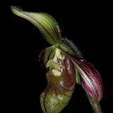 Paphiopedilum sangii