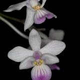 Phalaenopsis lindeni