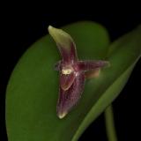 Pleurothallis scitula