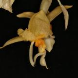 Stanhopea graveolens