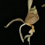 Stanhopea oculata_2