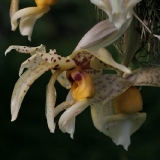 Stanhopea shuttleworthii