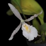 Trichopilia aff. hennisiana