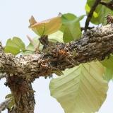 Dendrobium lindley (aggregatum)