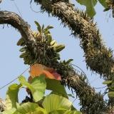 orchidejový strom