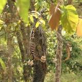 Dendrobium pulchellum