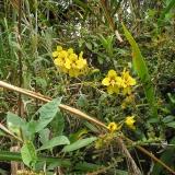 Cyrtochilum macranthum