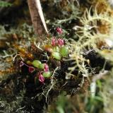 Pleurothallis sp.